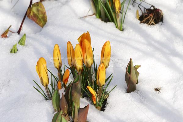 Crocus neve primavera bud inverno Foto d'archivio © manfredxy