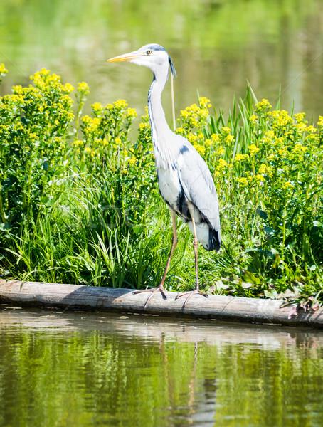 Gri balıkçıl kuş ayakta su Stok fotoğraf © manfredxy