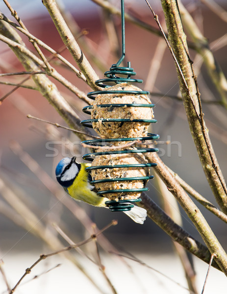 Blue tit bird eating at a bird feeder Stock photo © manfredxy
