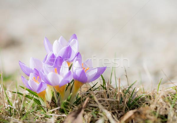 Mor çiğdem çiçekler bahar seçici odak Stok fotoğraf © manfredxy