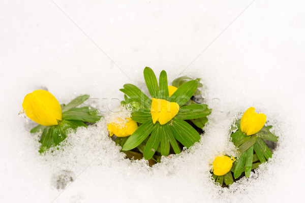 Stock photo: Yellow winter aconite flowers in the snow