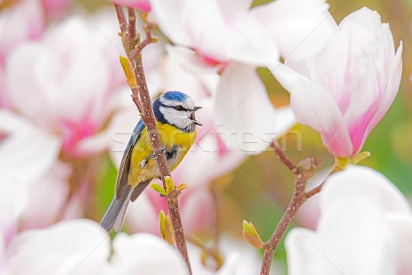 Blue tit bird in a Magnolia tree Stock photo © manfredxy