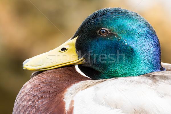 Portrait of a male mallard Stock photo © manfredxy