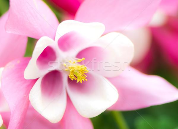 Aquilegia Blossom Stock photo © manfredxy
