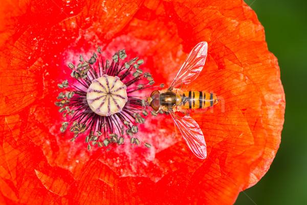 Vermelho papoula flor néctar flor Foto stock © manfredxy