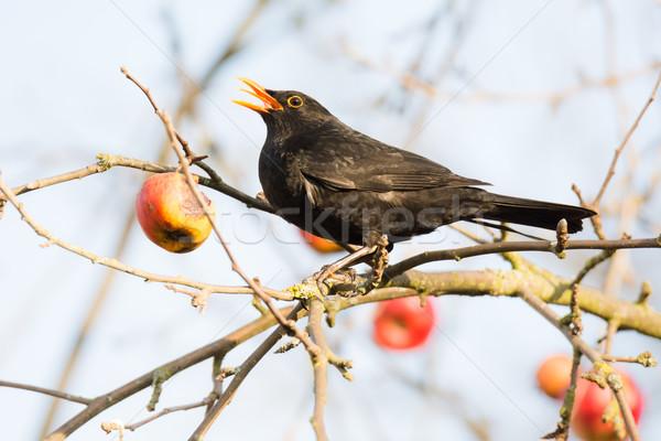 Commonb blackbird in an apple tree Stock photo © manfredxy