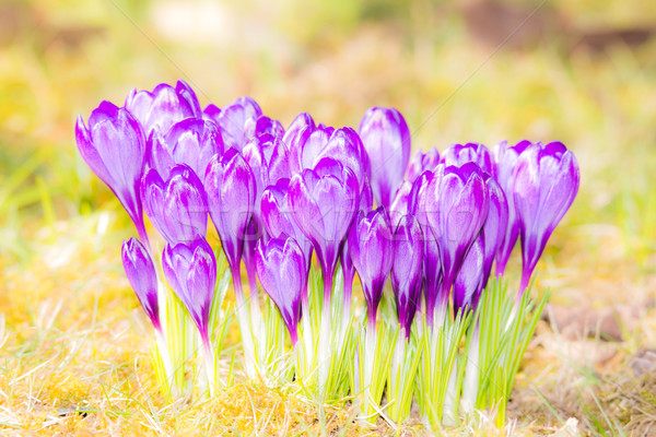 Lavender Crocus Flowers in the grass Stock photo © manfredxy