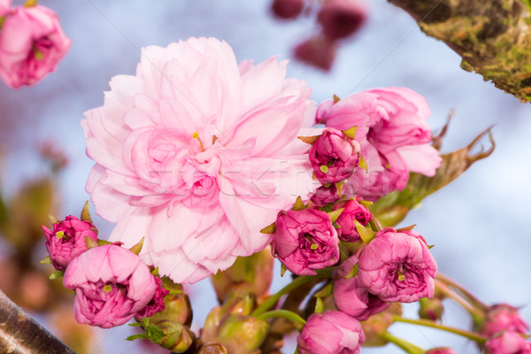 Branch with pink cherry blossoms Stock photo © manfredxy