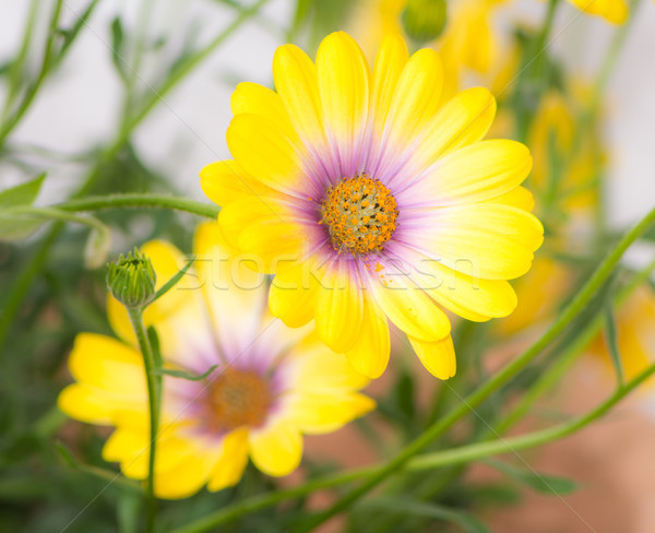 Makro żółty kwiat kwiat charakter Zdjęcia stock © manfredxy