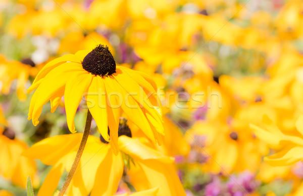 Campo giallo natura giardino estate impianto Foto d'archivio © manfredxy