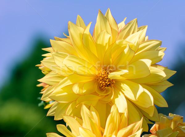Giallo dalia fiore fiore primo piano Foto d'archivio © manfredxy