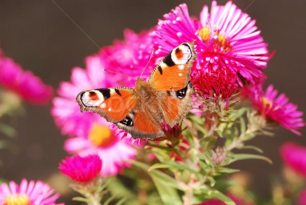 Paon papillon rose fleur animaux belle Photo stock © manfredxy