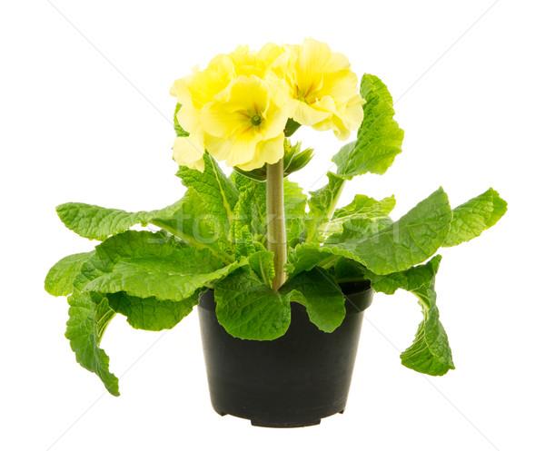 Isolado amarelo prímula flor macro folha Foto stock © manfredxy