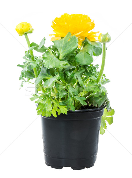 Isolated potted yellow Ranunculus flower Stock photo © manfredxy