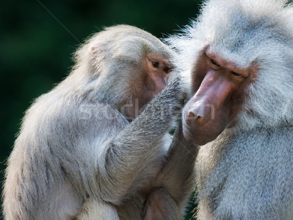 Grooming baboon monkeys Stock photo © manfredxy