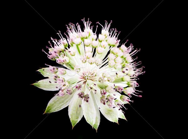 Kwiat kwiat czarny charakter roślin Zdjęcia stock © manfredxy