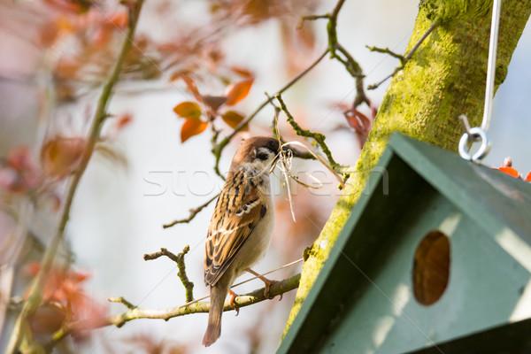 Eurasian Tree Sparrow at a Birdhouse building a nest Stock photo © manfredxy