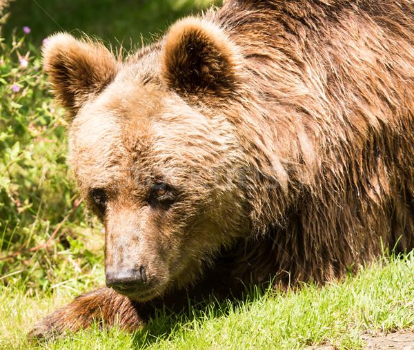 Bruine beer portret natuur hoofd beer dier Stockfoto © manfredxy
