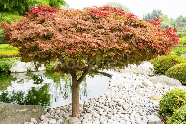 Japanese maple tree Stock photo © manfredxy