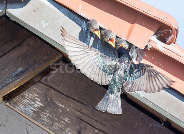 Flying common Starling feeding babies Stock photo © manfredxy