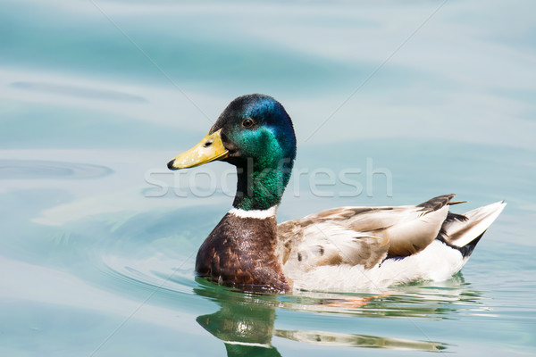 Swimming male wild duck  Stock photo © manfredxy