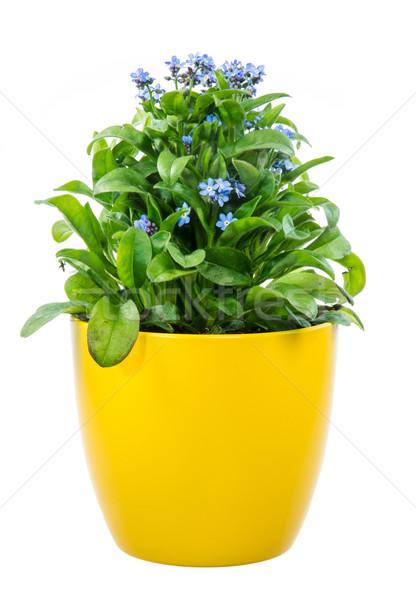 Isolated potted blue Myosotis flower Stock photo © manfredxy