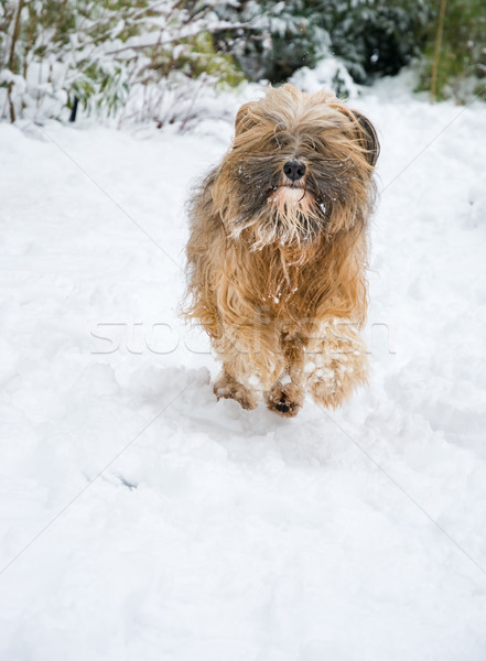 Terriër hond lopen sneeuw tuin winter Stockfoto © manfredxy