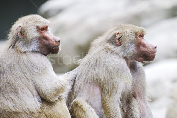 Baboons Stock photo © manfredxy