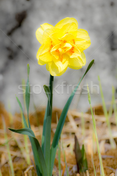 Daffodil желтый цветок весны завода лепестков Сток-фото © manfredxy