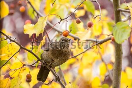 Blackbird fruits arbre séance baies Photo stock © manfredxy