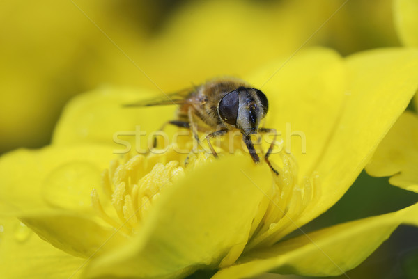 Marsh marigold with a bee Stock photo © manfredxy