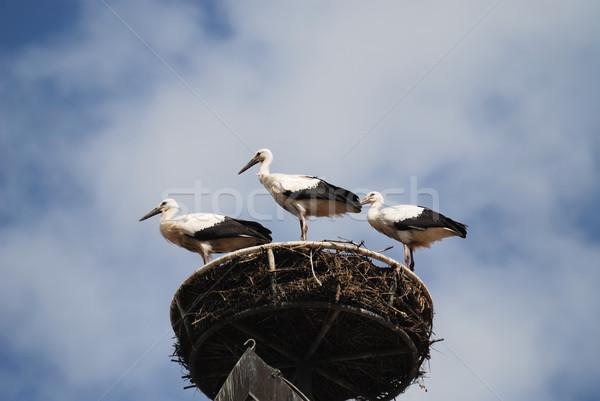 Három fiatal felhők kék madarak állatok Stock fotó © manfredxy