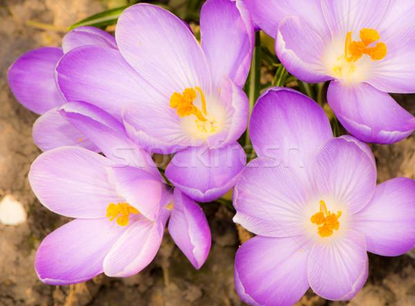 Lila kikerics virágok makró csoport virág Stock fotó © manfredxy