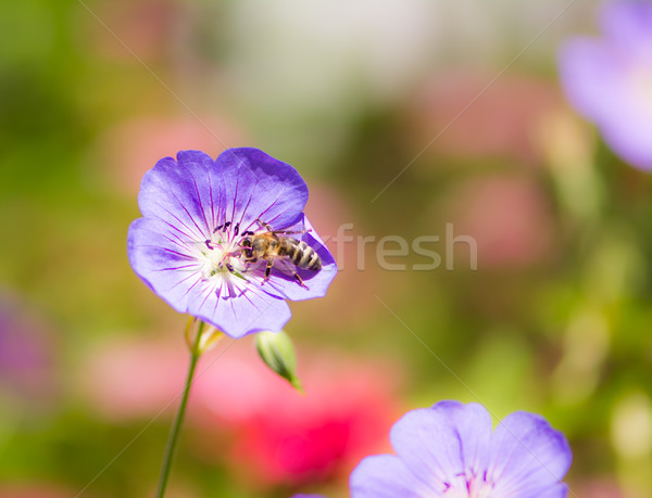 Bee on a geranium flower blossom Stock photo © manfredxy