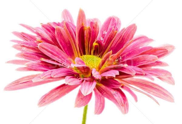Makro odizolowany różowy kwiat kwiat piękna Zdjęcia stock © manfredxy