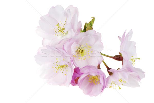 Cseresznyevirágzás virágok tavasz rózsaszín friss ág Stock fotó © manfredxy
