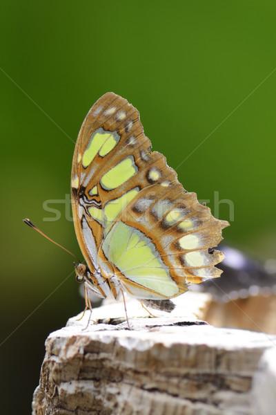 Tropical borboleta malaquita cor animal inseto Foto stock © manfredxy