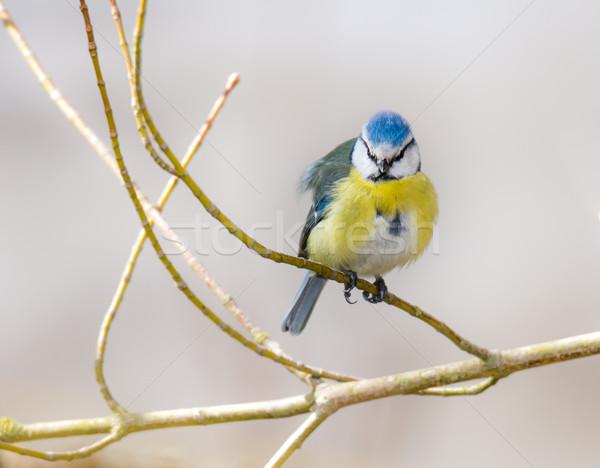 青 売り言葉 鳥 座って 小枝 ツリー ストックフォト © manfredxy