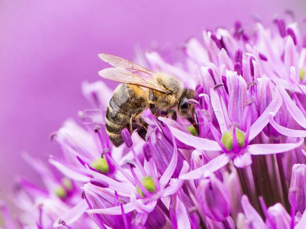 蜂 花粉 巨人 タマネギ 花 紫色 ストックフォト © manfredxy