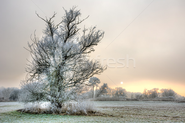 Lonely frosted tree at a foggy winter evening Stock photo © manfredxy