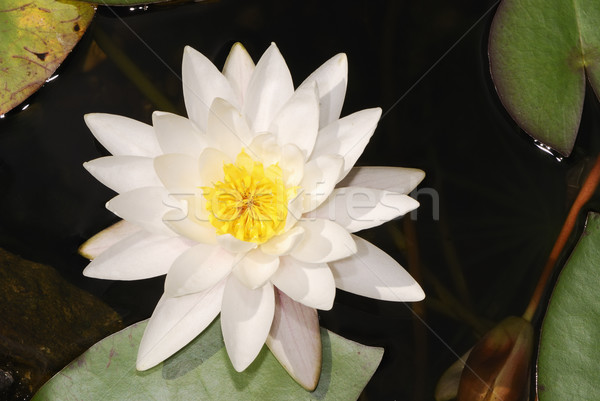 White lotus Stock photo © manfredxy