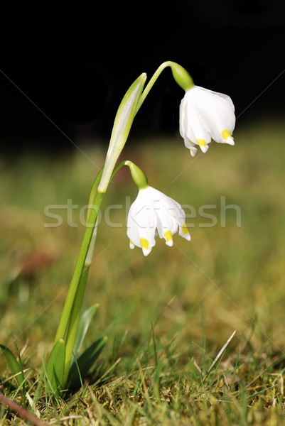 Snowdrops Stock photo © manfredxy