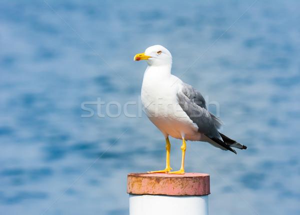 yellow-legged gull Stock photo © manfredxy