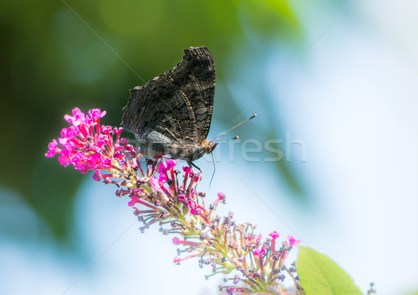 Peacock butterfly on a buddleia blossom Stock photo © manfredxy