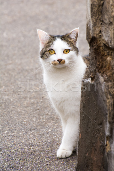 Young white cat hiding behind a wall Stock photo © manfredxy