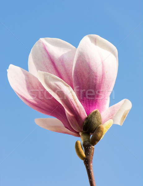 магнолия Blossom розовый дерево завода белый Сток-фото © manfredxy