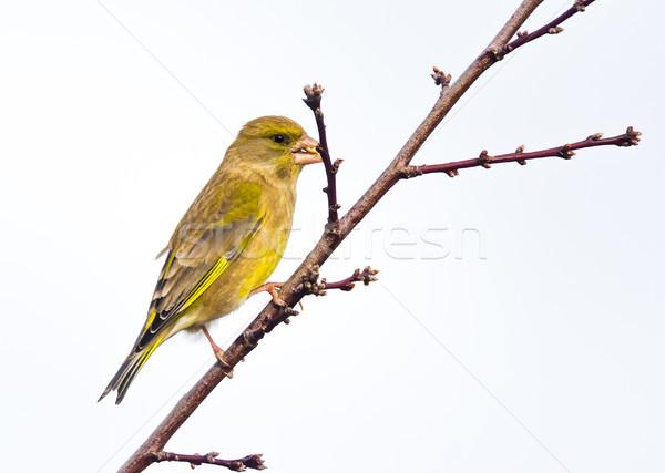 Posiedzenia gałązka charakter ogród ptaków Zdjęcia stock © manfredxy