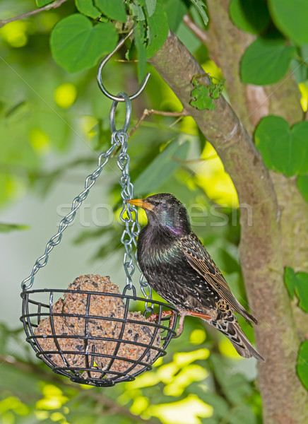 Stock photo: Starling at a bird feeder