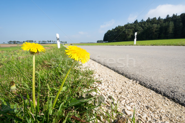 Dandelions at the Roadside Stock photo © manfredxy