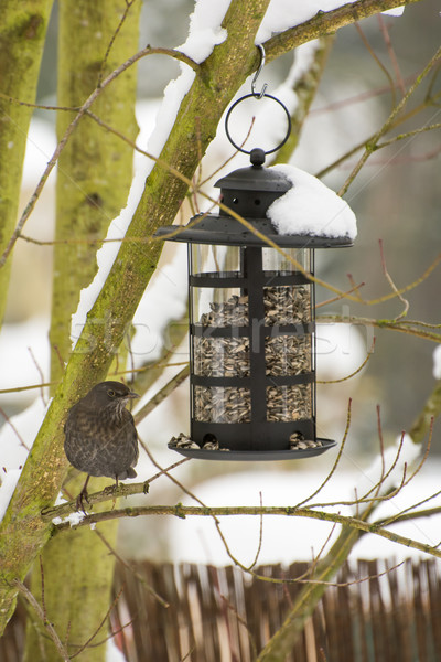Feeding a Blackbird in the Winter Stock photo © manfredxy